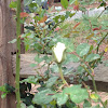 White rose bloom.  First of the season.
