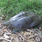 Spiny softshell turtle (female)