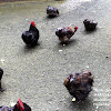 Black hens