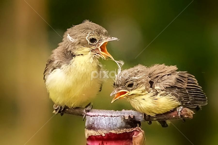 Angry Brother ? by Husada Loy - Animals Birds