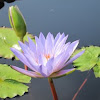 Blue water lily (Purple Lotus)