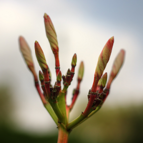 The Beginning  by Muhammad Habib Ul Haque - Flowers Flower Buds ( plant, macro, macro photography, green, flower bud )