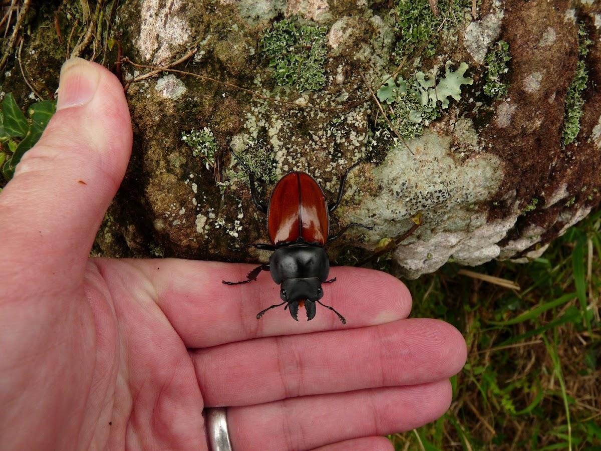 Swinhoe's Stag Beetle