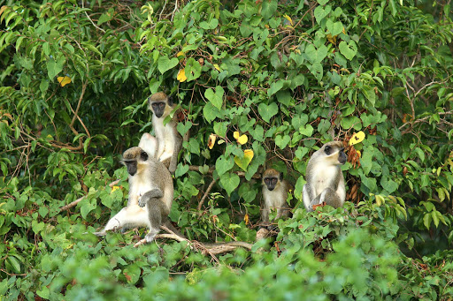 Nevis-vervet-monkeys - Vervet monkeys act as nature's alarm clocks on Nevis.