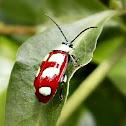 Six-Spotted Flea Beetle.