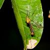 Tiger Crane-fly