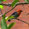 Scarlet-headed Flowerpecker (male)
