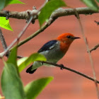 Scarlet-headed Flowerpecker (male)