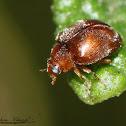 Dusky Ladybird Beetle