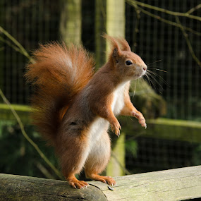 Red Squirrel by John Westwood - Animals Other Mammals (  )
