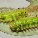 Stinging Nettle Slug Caterpillars (Cup Moths, Limacodidae)