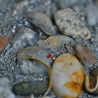 spider mite, Spinnmilbe