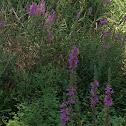 Purple Loostrife