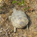 Gopher Tortoise (endangered species)