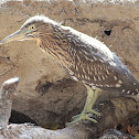 Indian Pond Heron or Paddybird