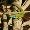 European Green Lizard ♂ (Σμαραγδόσαυρα)