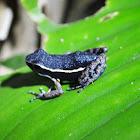 Spot-legged Poison-dart Frog