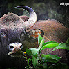 Indian bison -gaur
