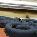 Large Black Ant