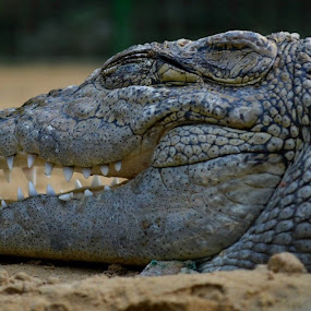 by Syed Rixvi - Animals Reptiles
