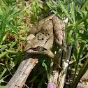 Agile frog / Горска дългокрака жаба