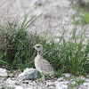 Double-banded Courser (chick)