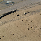 American Alligator Tracks