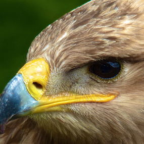 by Laura Payne - Animals Birds ( nostril, face, eagle, bill, watch, prey, tawny, yellow, feather, clear, rapter, bird, sight, see, side, beak, preditor, left, brown, head, nose, eye, animal,  )