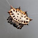 Spiny-backed Orb Weaver Spider