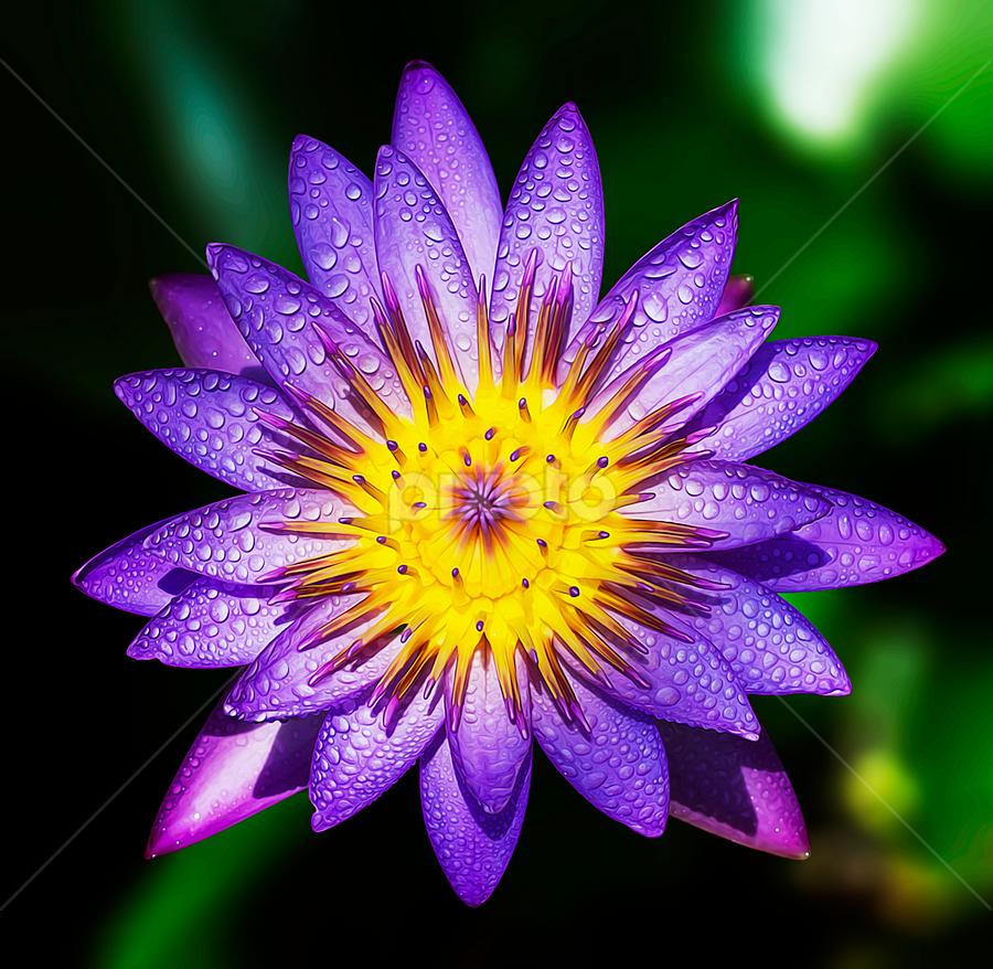 by Asher Jr Salvan - Flowers Single Flower (  )