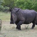 Rhinoceros (White Rhino)