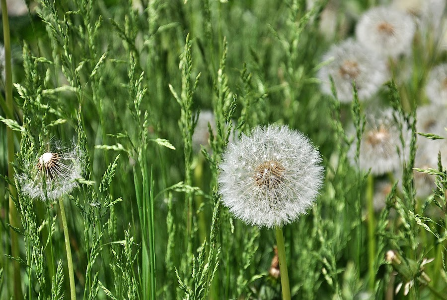 Dandelion by Maja  Marjanovic - Nature Up Close Other plants ( plant, dandelion, nature, grass, plants )