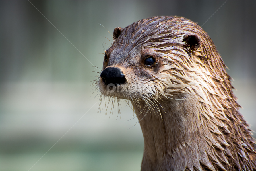 Loutre by Eric Deschenes - Animals Other Mammals ( otter, zoo, nikon, animal )