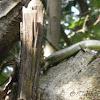 [F] Lizard Scincidae