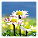 Daisy Flowers Free Wallpaper icon