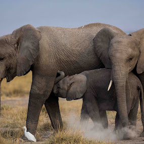 Three generations by Lourens Lee Wildlife Photography - Animals Other ( elephants, animals,  )