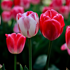 pink tulips by Gary Parnell - Flowers Flower Gardens ( tulips, flower )
