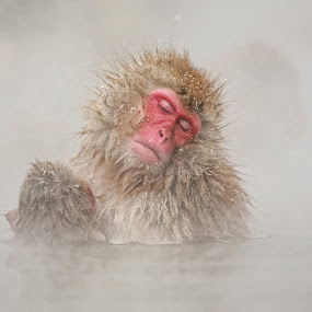 A warm soak by Anne Young - Animals Other Mammals ( snow monkey )