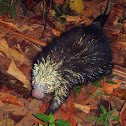 Mexican Arboreal Porcupine