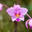 Phillippine Ground Orchid