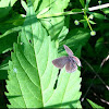 Eastern blue tailed butterfly