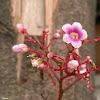 Starfruit flower