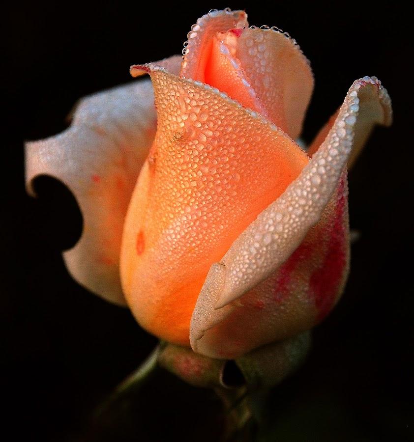 rose by Fabio Sartori - Flowers Single Flower
