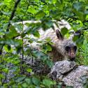 American Black bear (spirit bear)