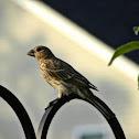 House Finch (Female)