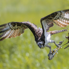 All mine  by Liza Chevres - Animals Birds ( osprey )
