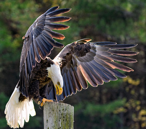 Bald Eagle Takes a Break by Peter K. Burian - Animals Birds ( bird, port dover ontario, flying, flight, bird of prey, eagle, avian, wings, bald eagle, raptor,  )