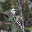 White-rumped Helmet-shrike; Northern White-crowned Shrike