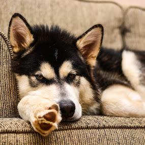 by Jon Kowal - Animals - Dogs Portraits