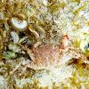 Mulata. Crab